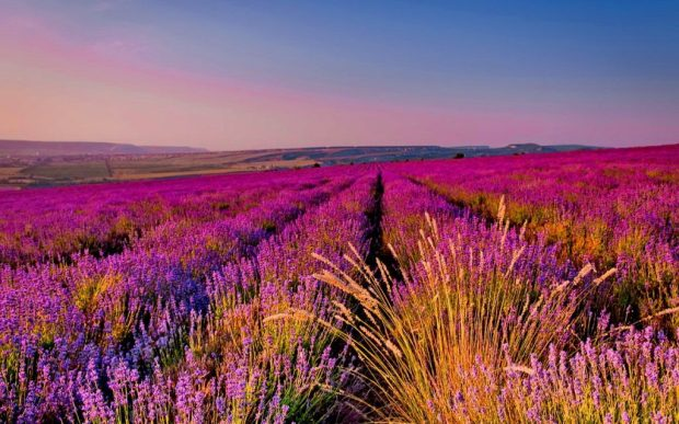 wpnature.com-field-lavender-fragrance-sky-nice-summer-scent-nature-beautiful-lovely-purple-meadow-pretty-rows-phone-wallpapers-1024x640